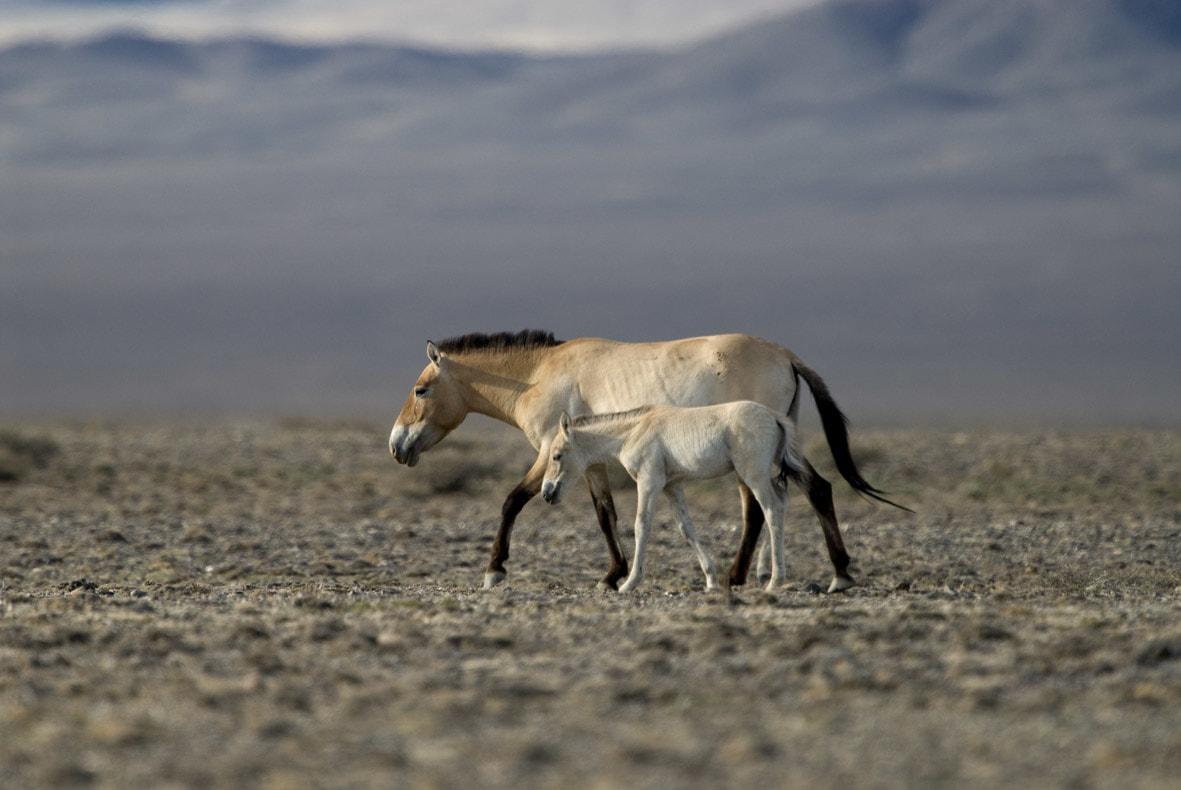 ló legyek paraziták